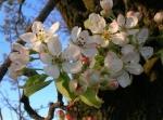 Fleurs de Pyrus Pyraster
